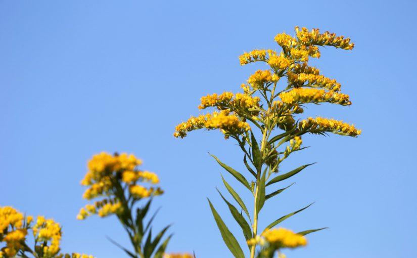 Heilpflanzenwissen: Die Goldrute